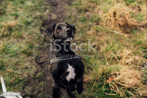 Black Patterdale Terrier begging on two back legs for a biscuit, on a rural footpath.