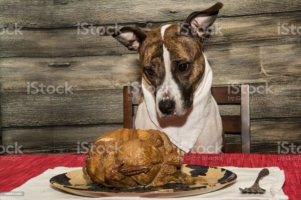 Begging for the Holiday Feast stock photo