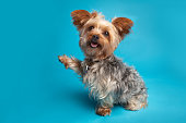 A Yorkshire Terrier begging on a blue background.