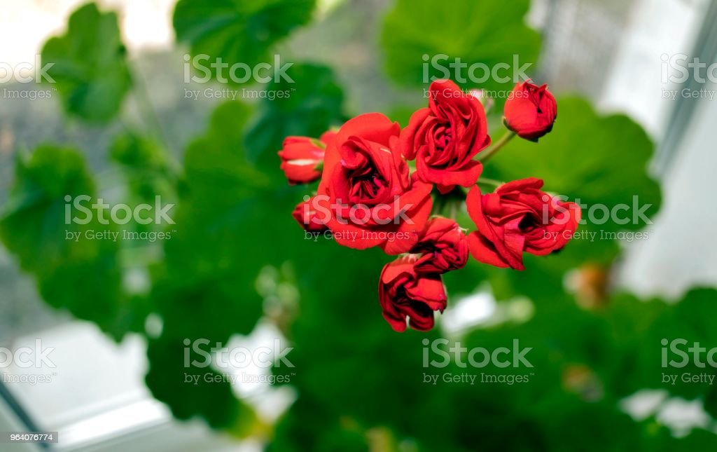 begin to bloom buds of red geranium on natural green background - Royalty-free Beauty Stock Photo