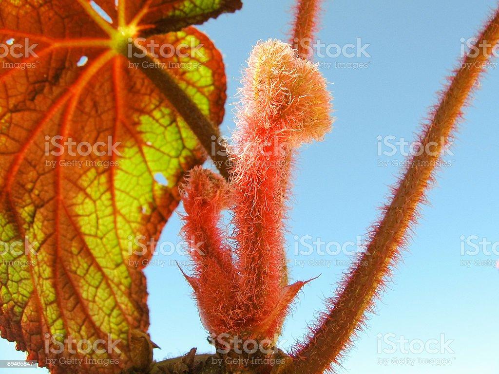 Begonia 2 royalty-free stock photo