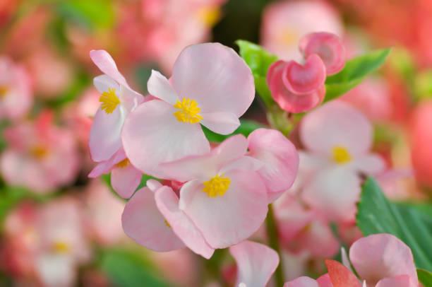 begonia ,begonia x semperflorens-cultorum - pręcik część kwiatu zdjęcia i obrazy z banku zdjęć
