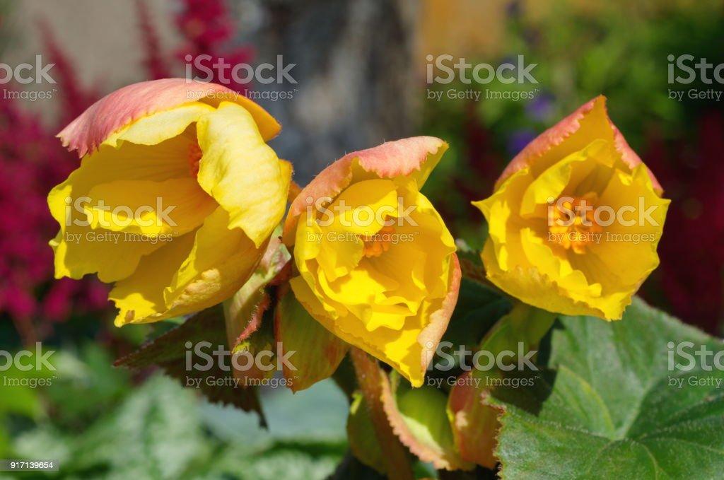 Begonia flower close up stock photo