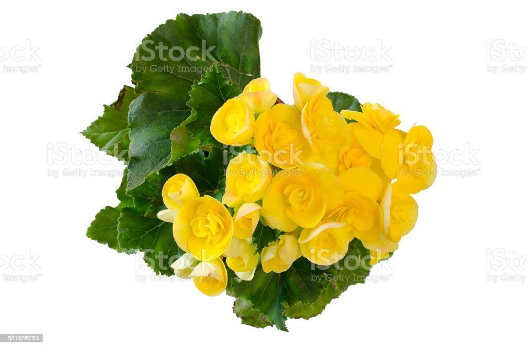 begonia flower isolated on white background stock photo