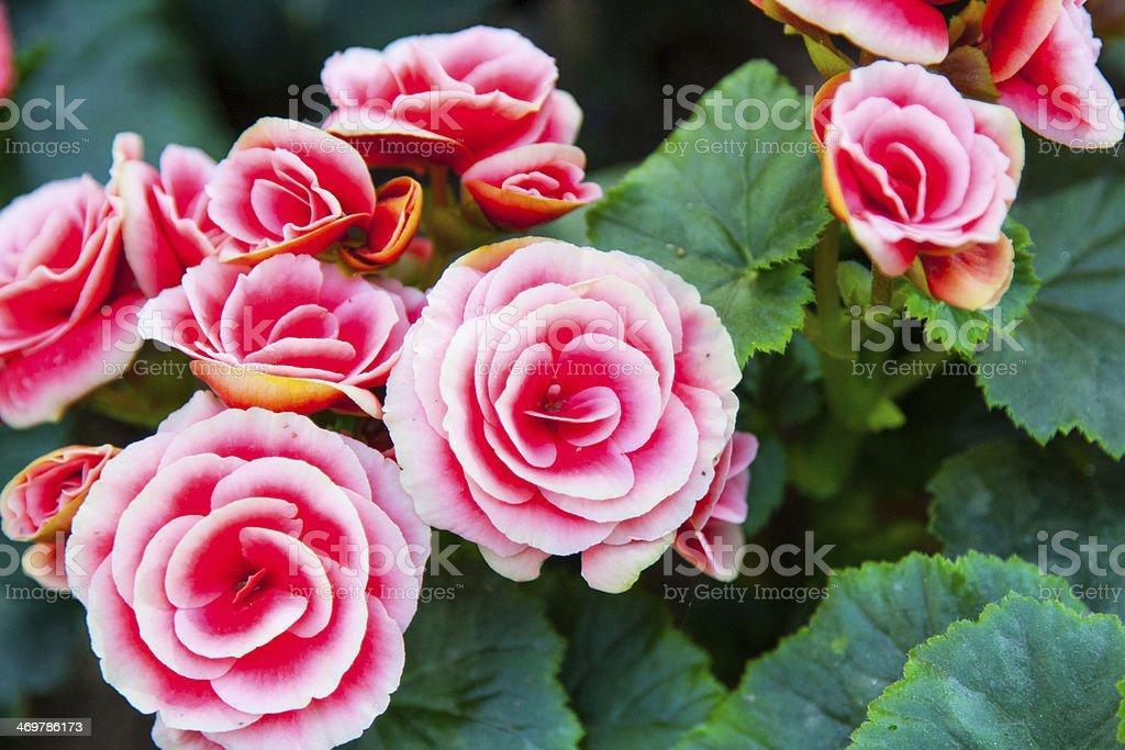 Begonia flower foto