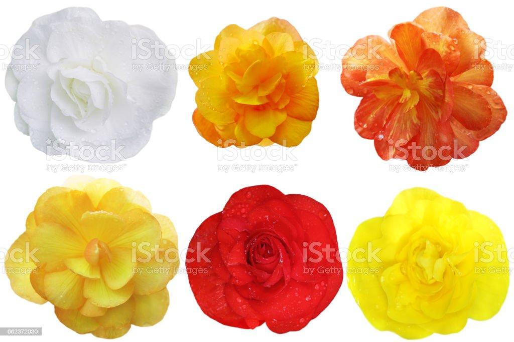 Begonia Flower Set foto