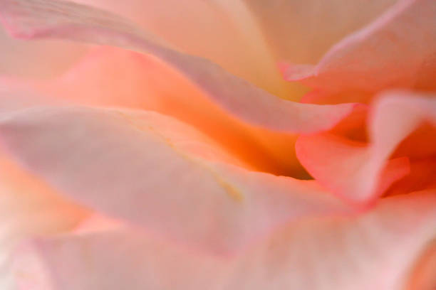 Begonia Flowers: Nahaufnahme Foto – Foto