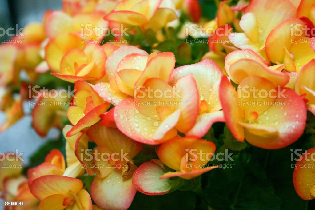 Begonia Flowers Close-Up royalty-free stock photo