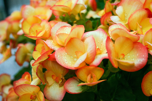 Begonia Flowers Closeup Stock Photo & More Pictures of Beauty