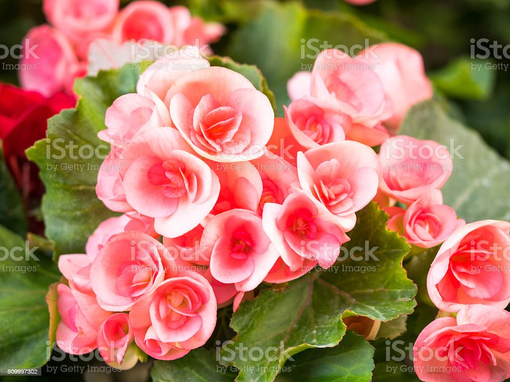 Begonia flowers in the garden, Beautiful background stock photo