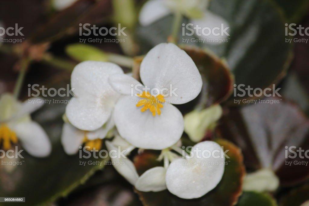 begonia flowers zbiór zdjęć royalty-free