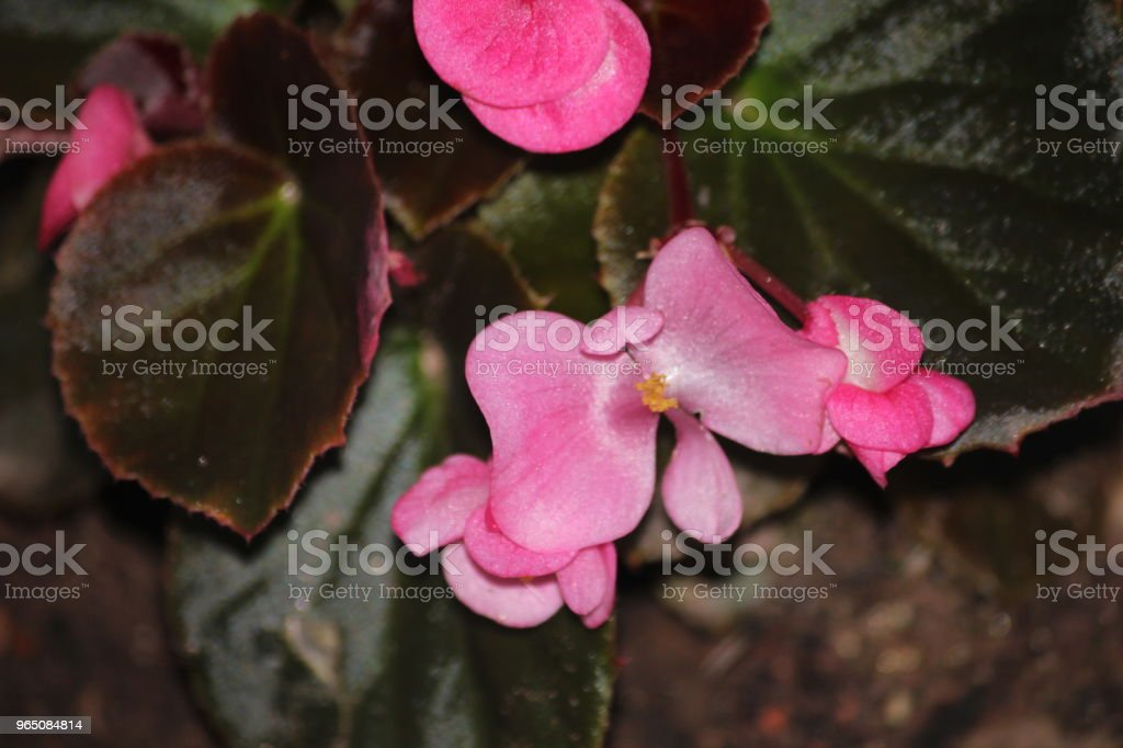 begonia flowers royalty-free stock photo