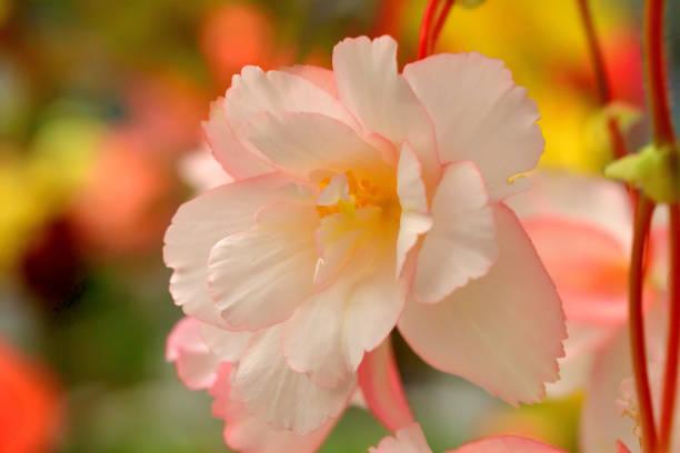 Begonia Blumen mit mehrfarbigem Hintergrund – Foto