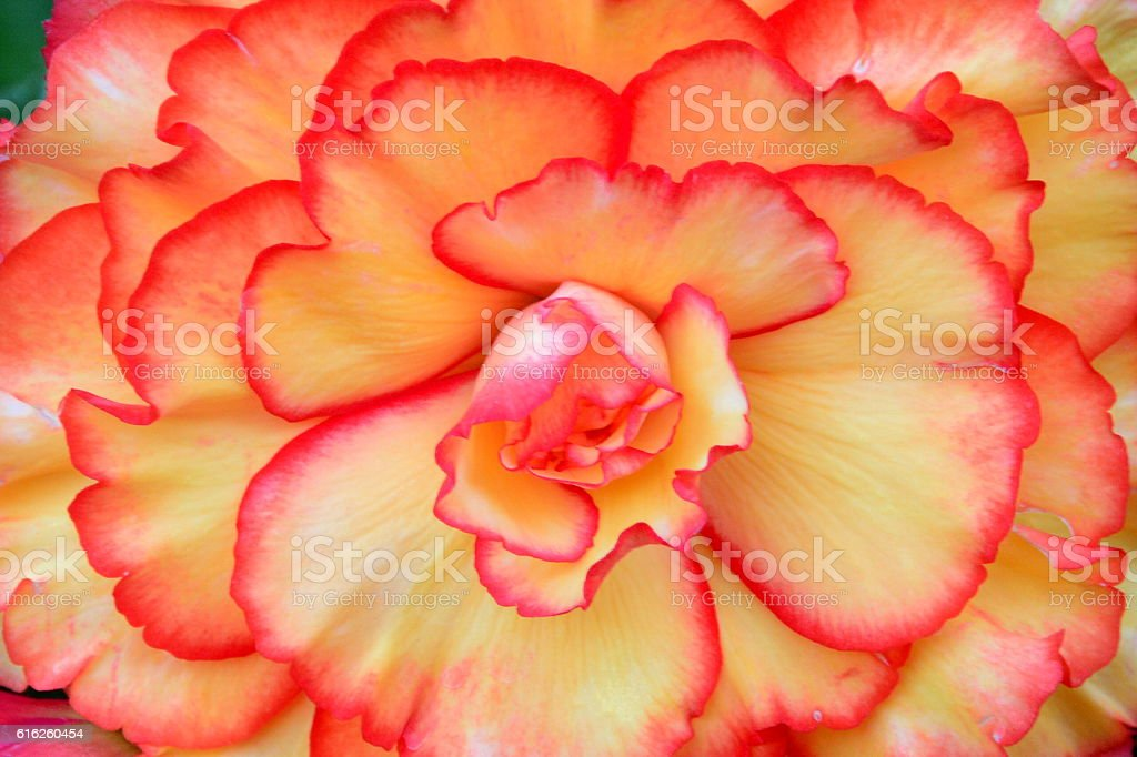 Begonia in bloom foto