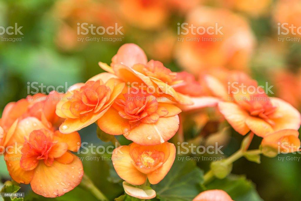 Begonia in the garden stock photo