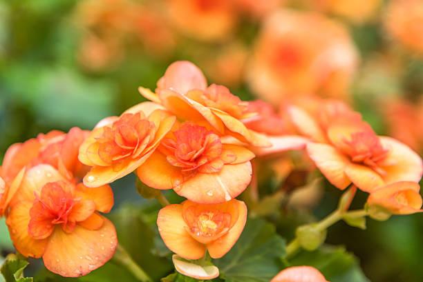 Begonia in the garden foto