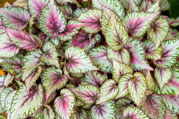 Begonia leaves rexcultorum picture id1065266344?b=1&k=6&m=1065266344&s=612x612&w=0&h=svdkm6rkzel0qiejxessyo66hbfhyaztg1rgx5e rpc=