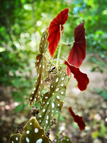 Begonia Maculata - Exotic Plant