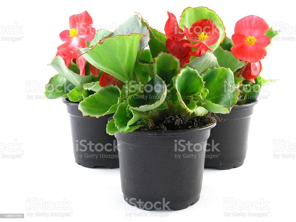 begonia stock photo