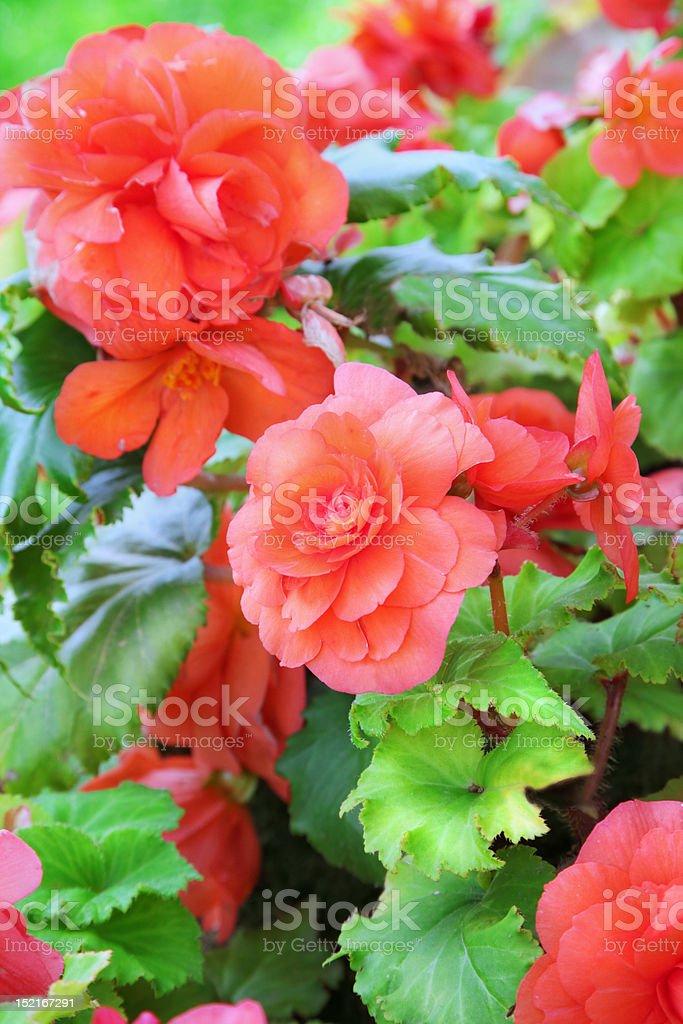 Begonia royalty-free stock photo