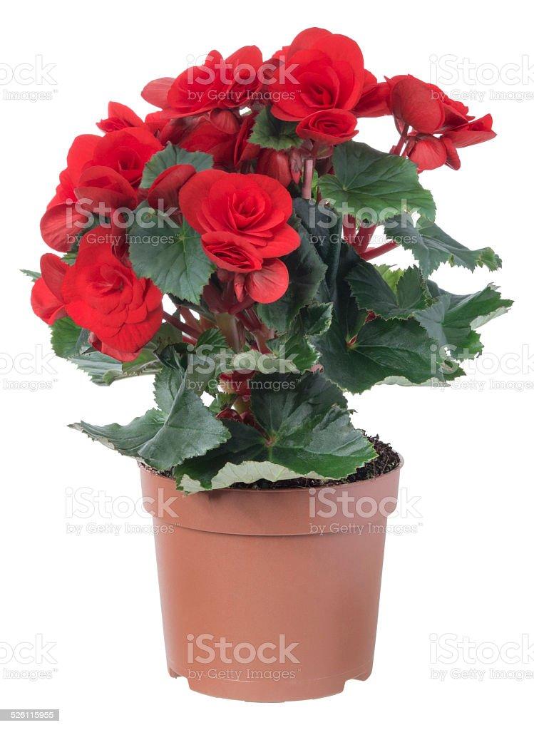Begonia. foto