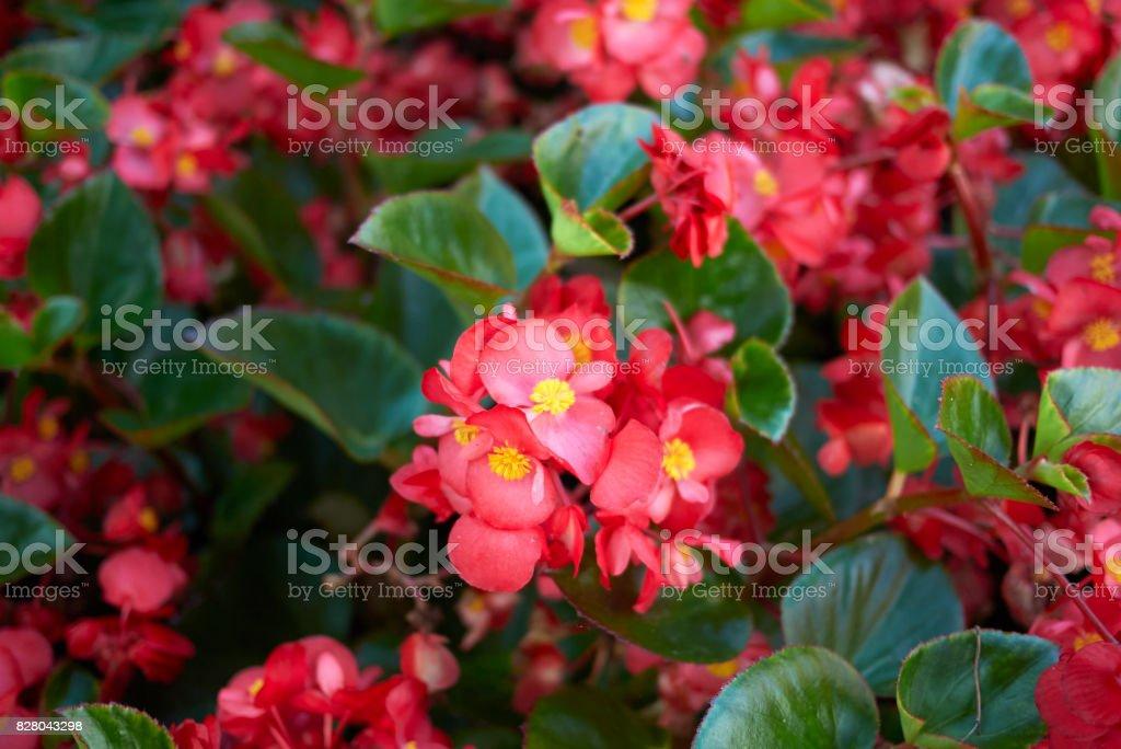 Begonia foto