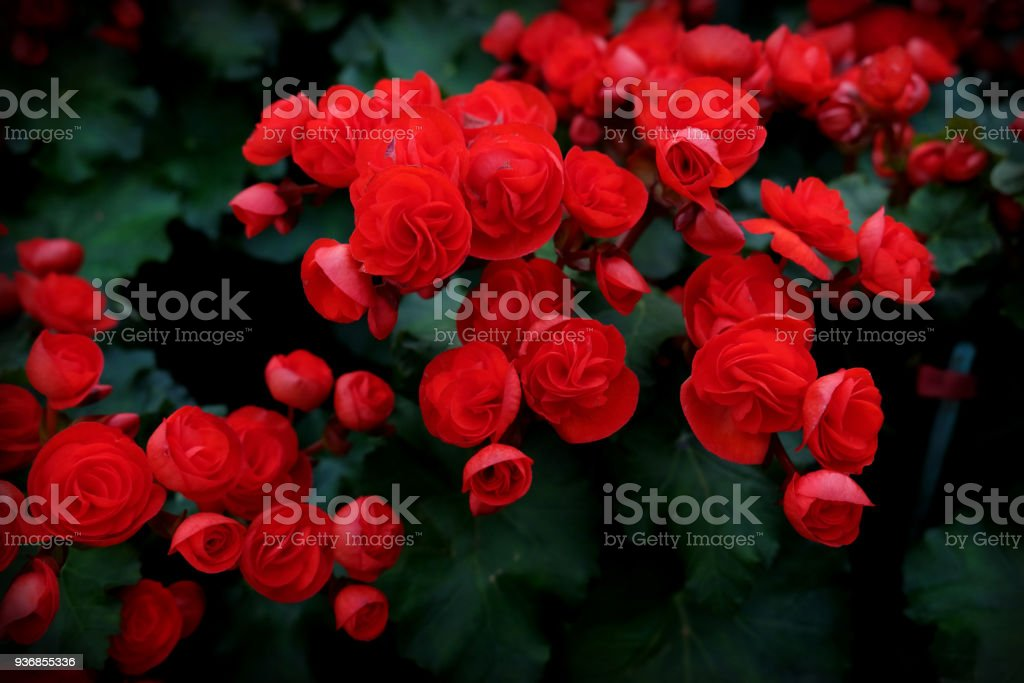 Begonia planted with colorful flowers. blossoming in the garden stock photo
