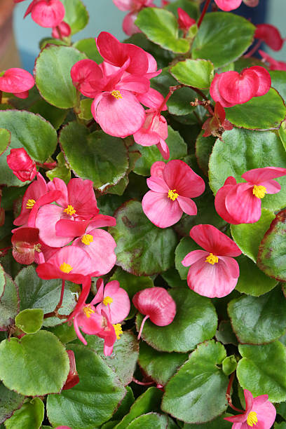 Begonia Semperflorens Link et Otto stock photo