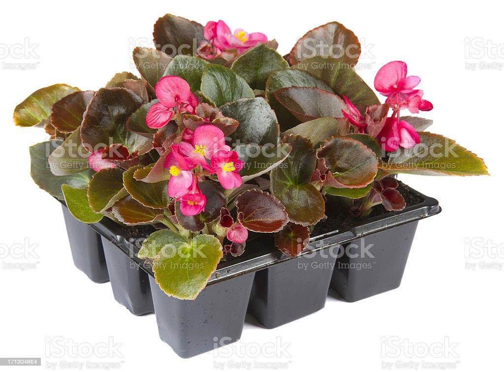 Begonia semperflorens stock photo
