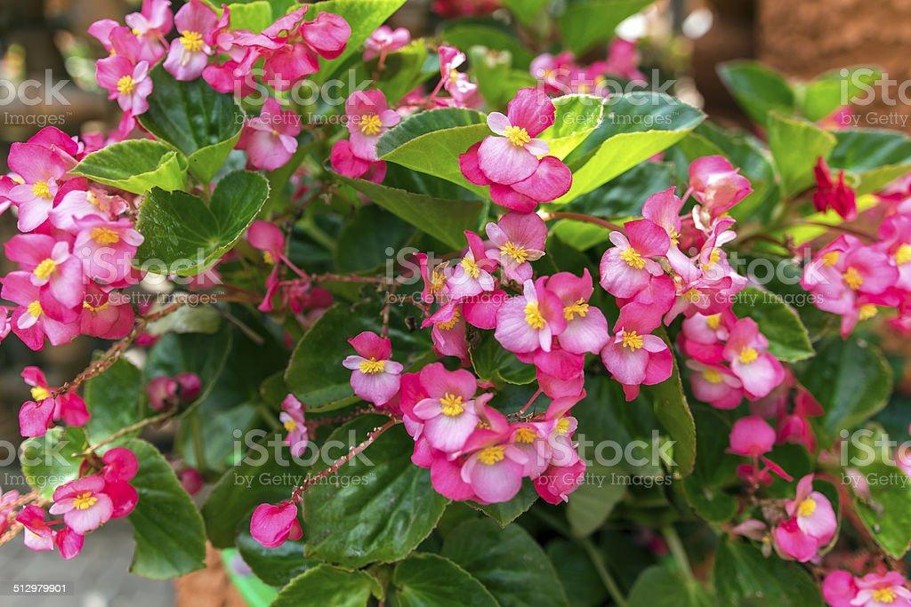 Begonia Semperflorens. stock photo