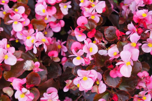 begonia semperflorens rosa blumen - wachsblume stock-fotos und bilder
