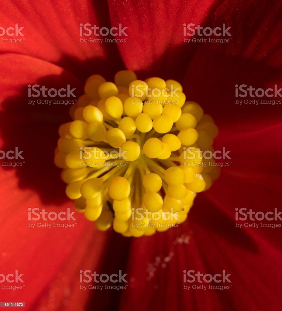 Begonia Stamens royalty-free stock photo