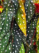 Begonia ,tropical foliage nature background