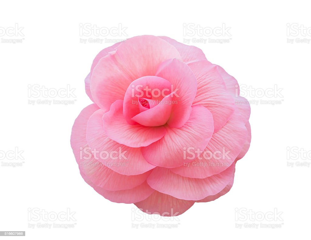 Begonia Tuberhybrida pink flower. stock photo