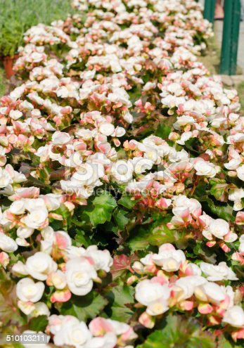 Begonia white flowers in garden