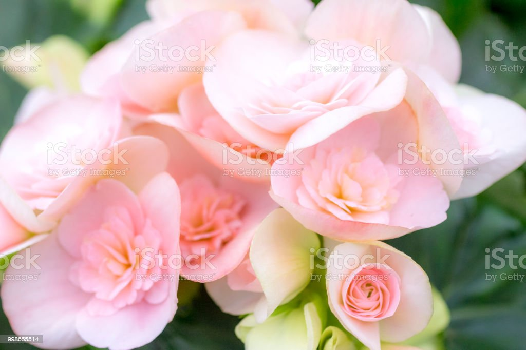 Begonia with double pink flowers stock photo