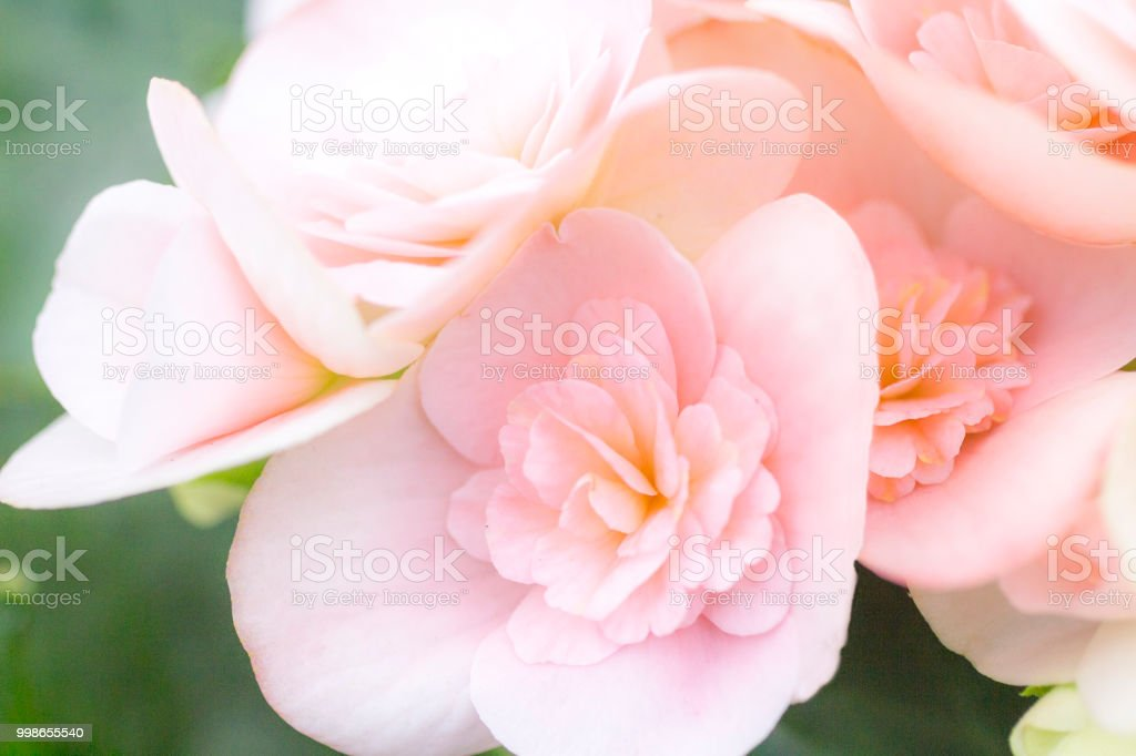 Begonia with large pink flowers stock photo
