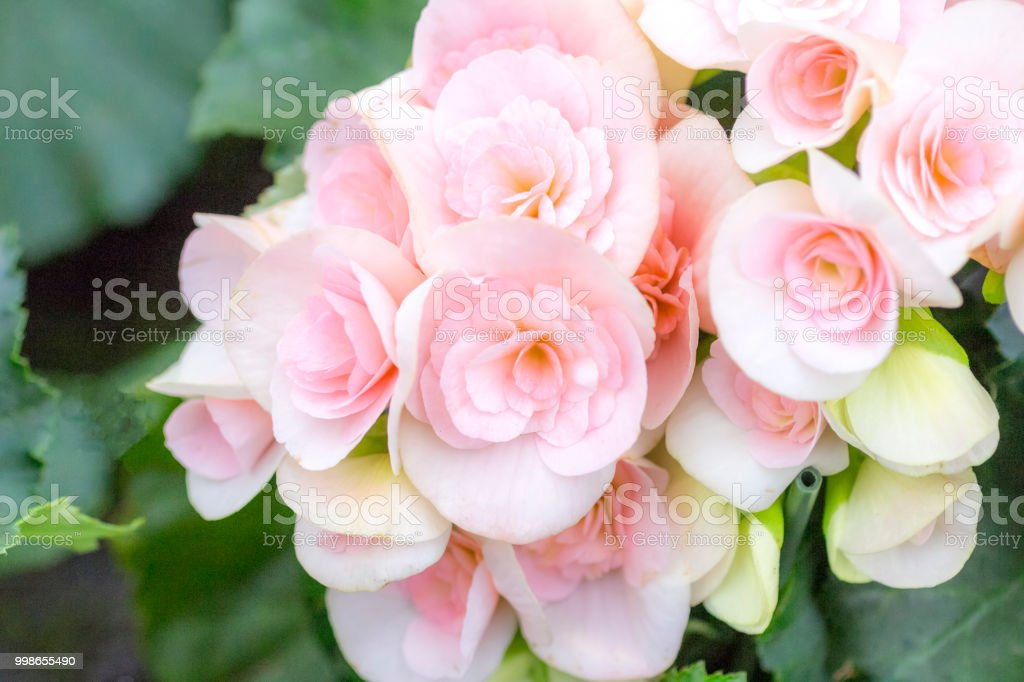Begonia with soft pink flowers stock photo