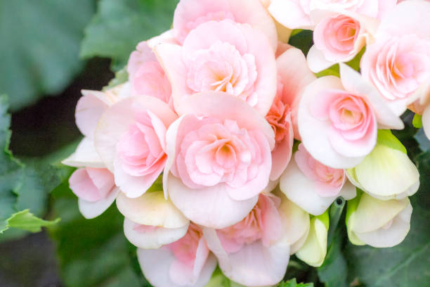 begonia with soft pink flowers - low contrast stock pictures, royalty-free photos & images