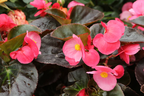 Begonia x Benariensis stock photo