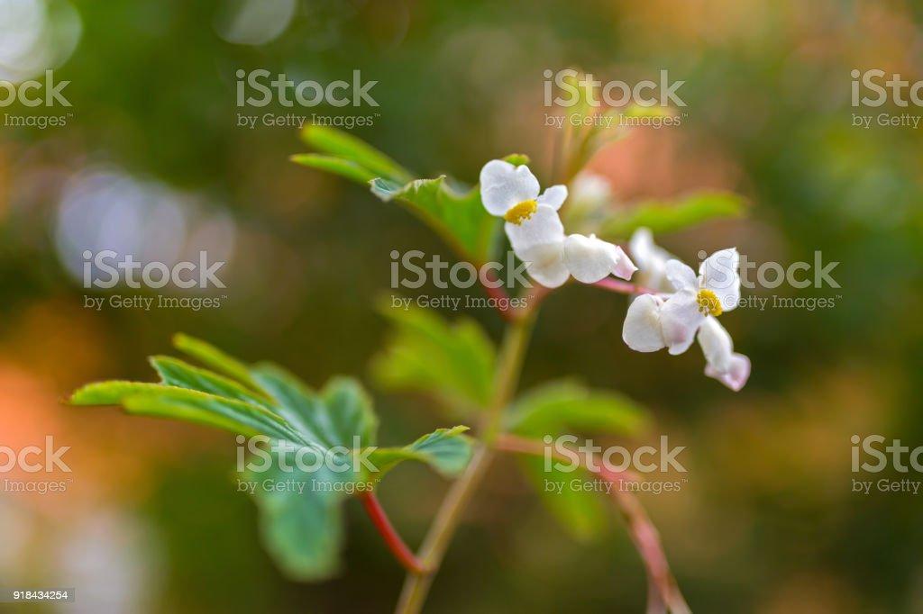 Begonia x hybrida baby wing white flower with yellow stamen blurred begonia x hybrida baby wing white flower with yellow stamen blurred background with bokeh mightylinksfo