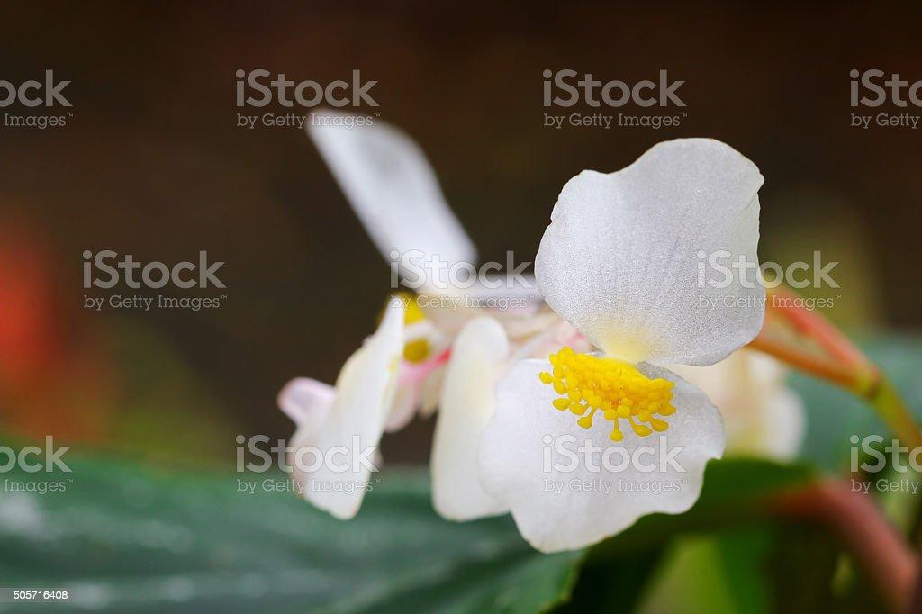 Begonia x hybrida baby wing white flower with yellow stamen stock begonia x hybrida baby wing white flower with yellow stamen royalty free stock photo mightylinksfo