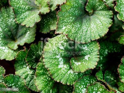 plant, leaf, Alternative Medicine, Backgrounds, Beauty In Nature, pyrenean violet,African Violet, Animal Wildlife, Arboretum, Beauty, begonia, Flower, Tuber