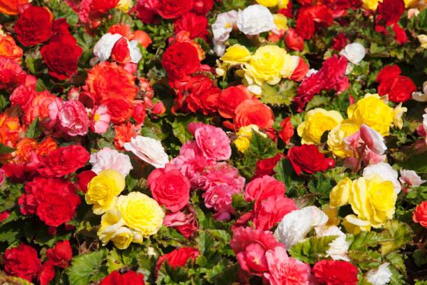 Begonias multi gekleurd foto