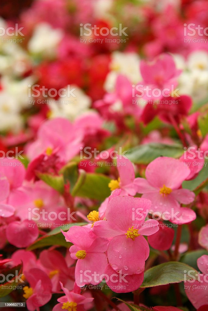 Begonias royalty-free stock photo