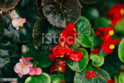 Begonia, Flower, Red, Leaf, Plant, Nature