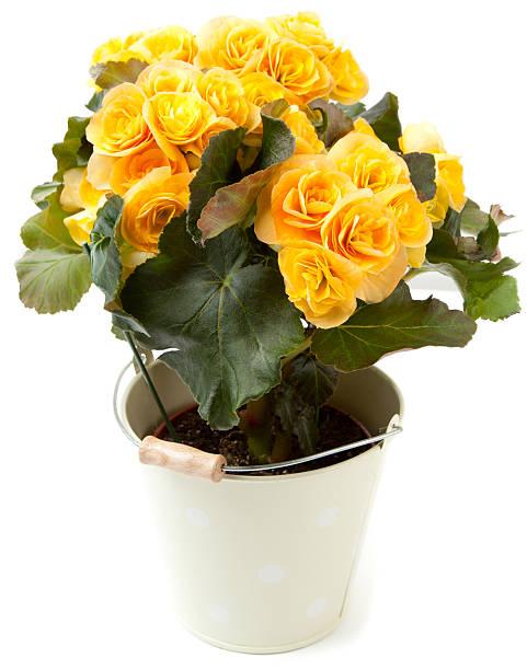 Begonia's yellow flower foto