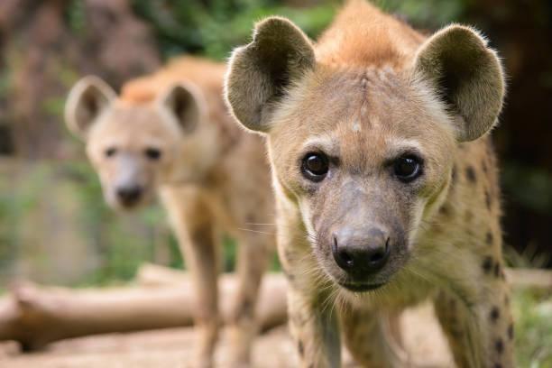 gedrag van gevlekte hyena - hyena stockfoto's en -beelden