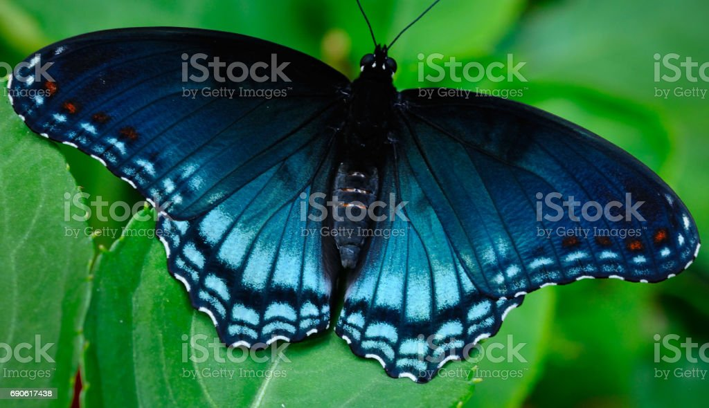 Behold: A Blue Monarch Butterfly stock photo