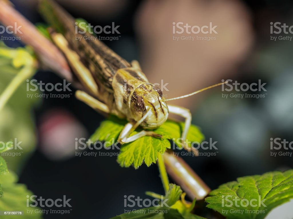 Beige black locust, on a green leaf, photographed close stock photo